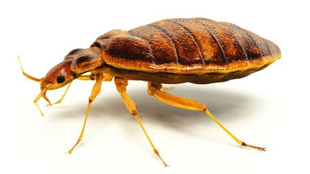 bed bug crawling in centurion