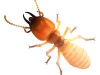 Subterranean Termite eating wood