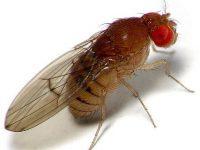 Centurion Fruit Fly