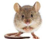house mice in Centurion
